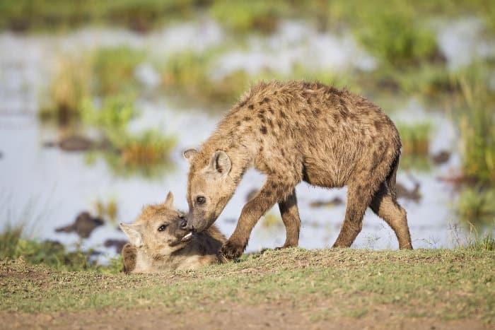 Hyena greeting, Masai Mara, Kenya