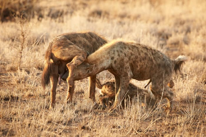 Two female hyenas sniffing each other, displaying their pseudo-penis
