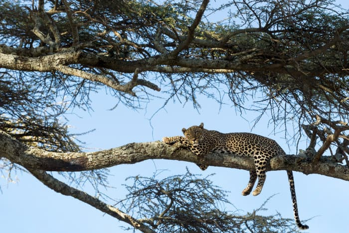 Leopard resting on a branch in the Serengeti, Tanzania