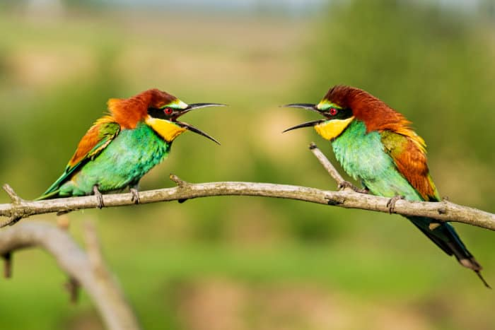 Two little bee-eaters having a chat, Kruger, South Africa