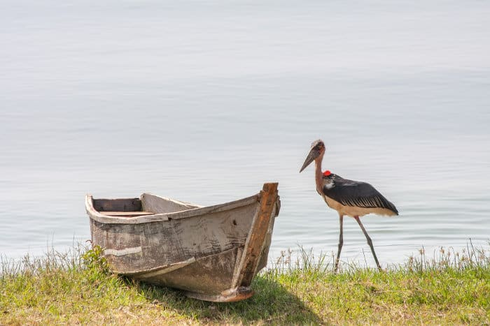 Marabou stork near boat, on the shores of Lake Victoria