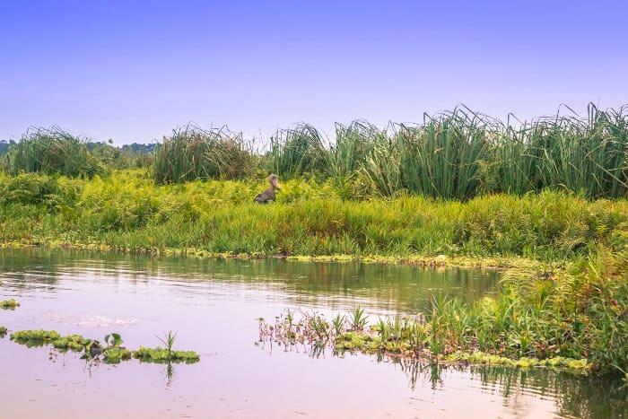 Shoebill in Mabamba Swamp, Uganda