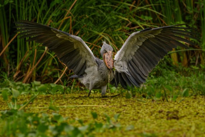 A shoebill's wingspan is up to 2.5 meters in length