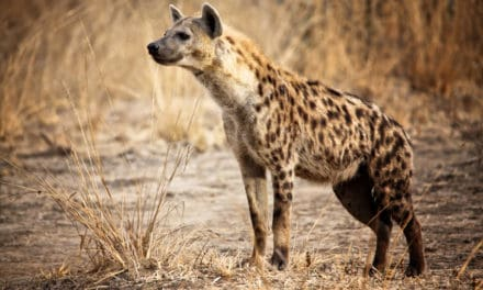 13 interesting spotted hyena facts – The giggly villains