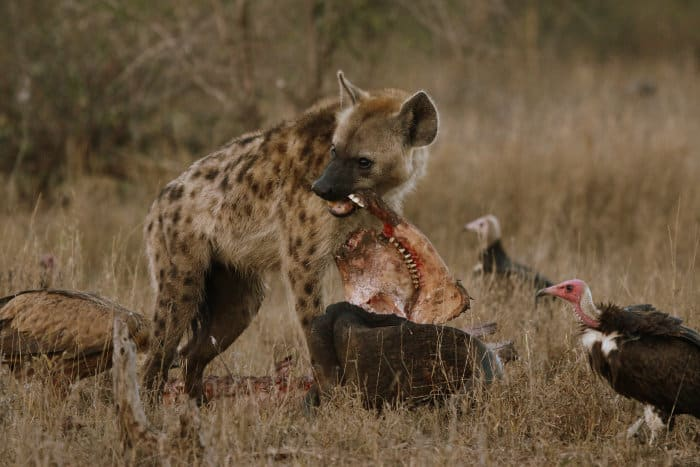 Spotted hyena chewing on the jaw of a dead buffalo