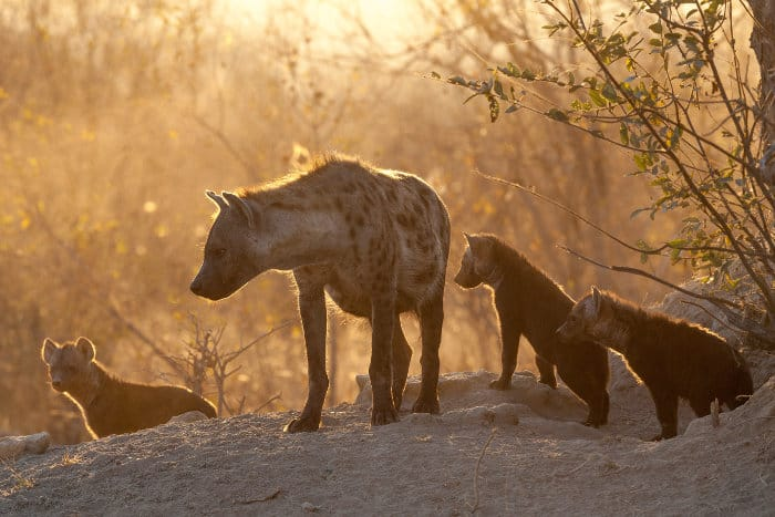 Adult spotted hyena and cubs at their den, Timbavati, South Africa