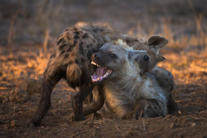 Spotted hyena biting each other playfully, one of them revealing its teeth