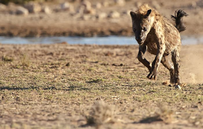 Spotted hyena running at full speed, Kgalagadi