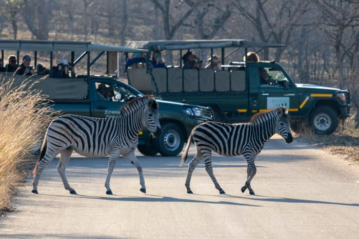 Zebra crossing in front of tourist vehicles, Kruger