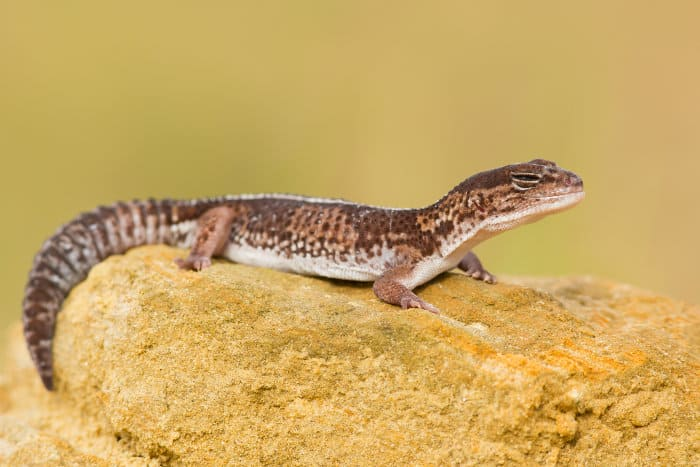 African fat-tailed gecko having a little nap