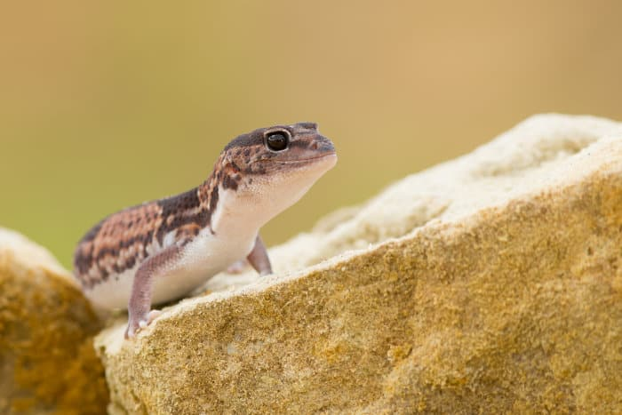 African fat-tailed geckos are insectivorous, meaning they only eat insects