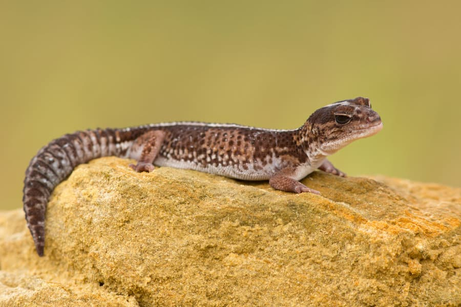 10 African fat-tailed gecko facts – Africa's incredible lizard species