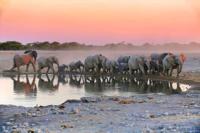 Elephants at a local waterhole in Etosha