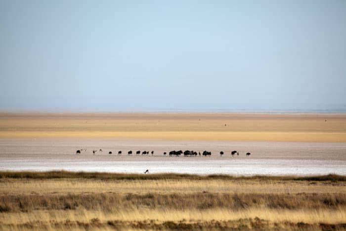 Wildebeest procession on the Etosha pan