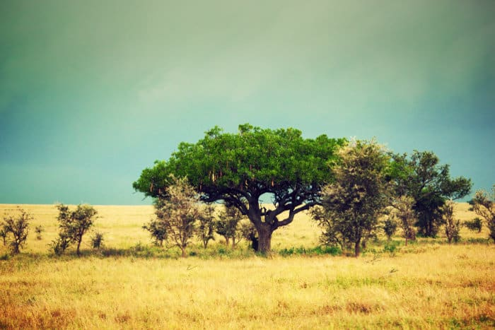 """Kigelia africana - more commonly known as the """"sausage tree"""" - in the Serengeti, Tanzania"""