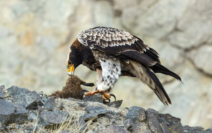Juvenile Verreaux's eagle eating its prey (rock hyrax)
