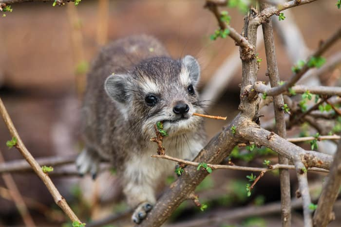 Baby hyrax eating lunch