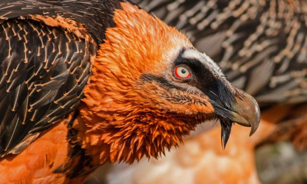 The bearded vulture – All you need to know about this bone-eating bird