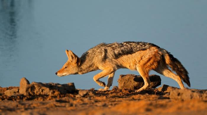 Black-backed jackal stalking, by a waterhole in Etosha