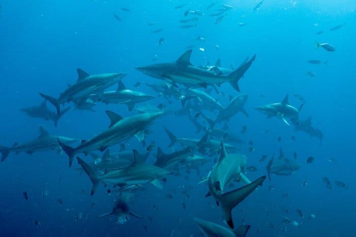 School of blacktip sharks