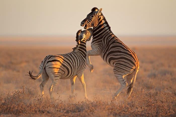 Burchell's zebra stallions fighting in Etosha