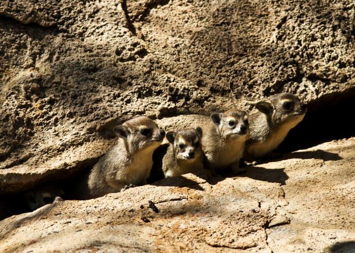 Creche of baby bush hyraxes