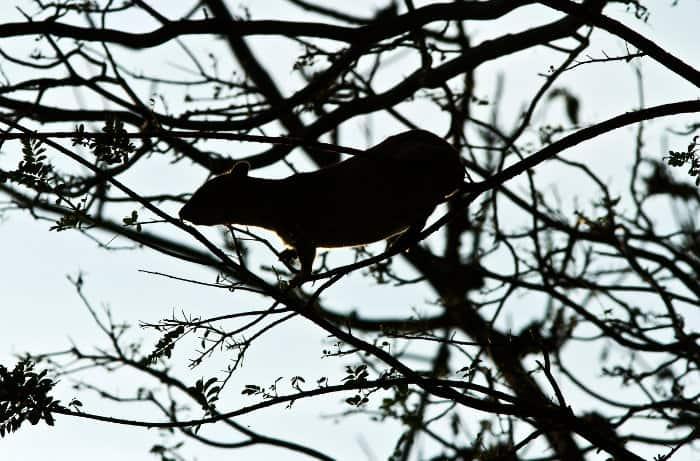 Bush hyrax silhouette up in a tree, Ruaha National Park, Tanzania