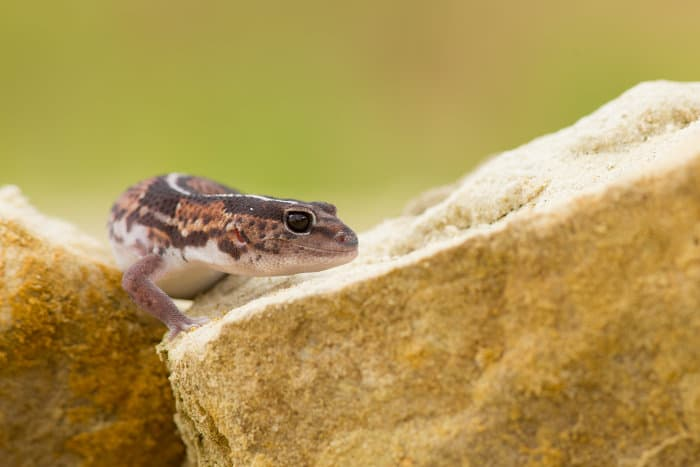 Curious African fat-tailed gecko poses for the perfect shot