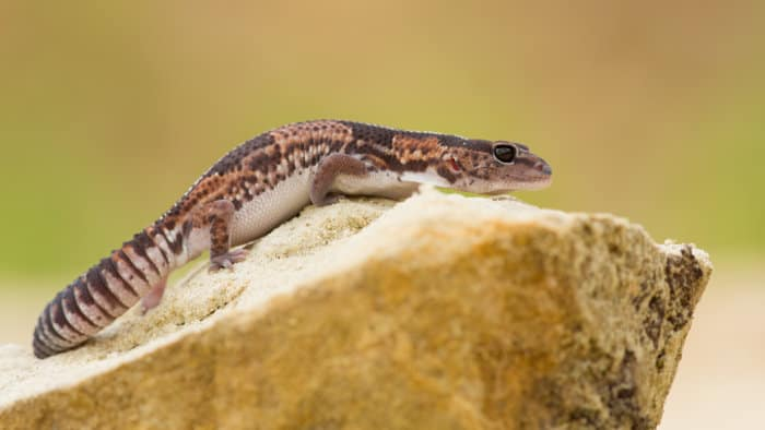 A plump, well-rounded tail on an African fat-tailed gecko is a sign of good health