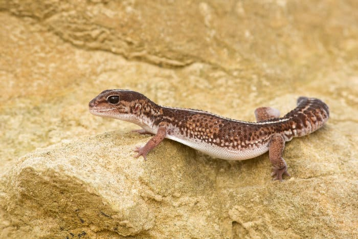 Fat-tailed gecko in its natural habitat