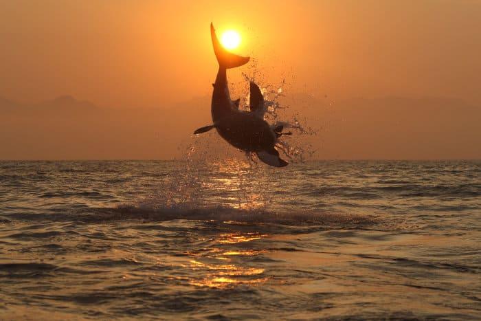 Great white shark breaching at sunset, False Bay, South Africa