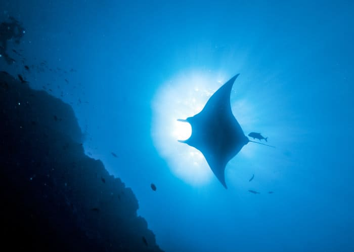 Manta ray silhouette in the deep blue sea