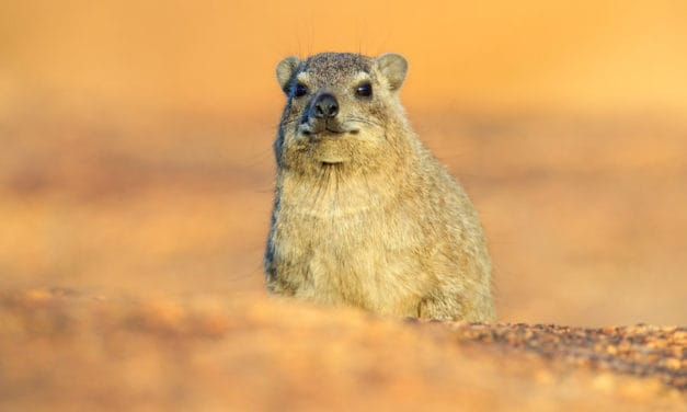 The hyrax: 17 amazing facts about this charming animal