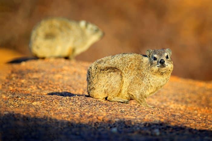 Rock hyrax basking in the sun