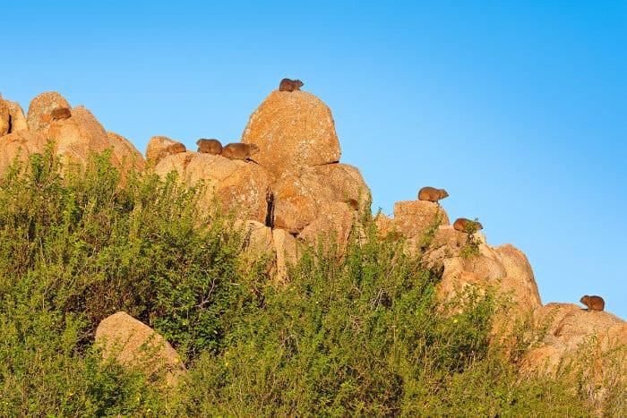 Rock hyrax colony sunbathing, Namibia