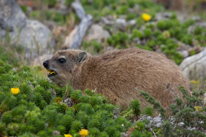 Rock hyrax eating yellow flowers