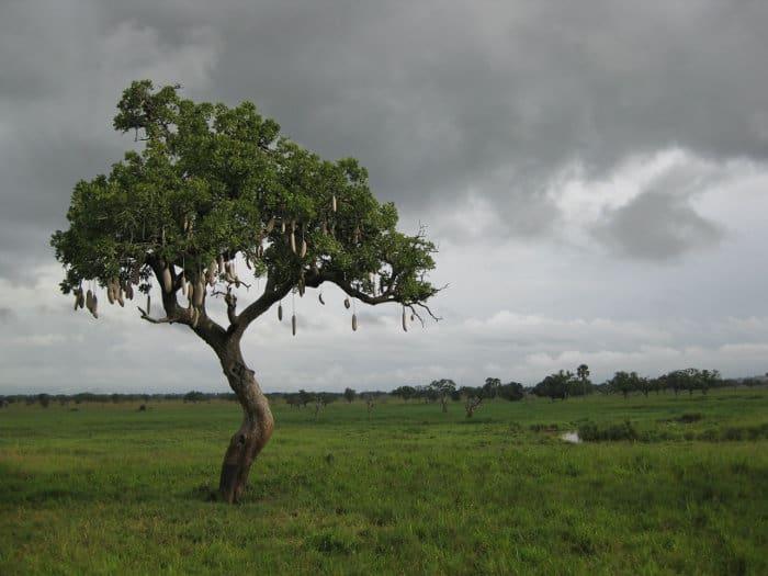 Lone sausage tree on the African savanna, Tanzania