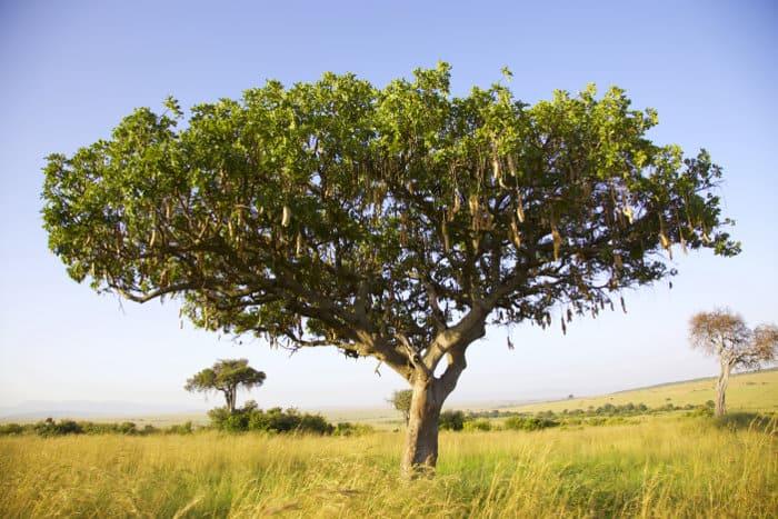 Sausage tree on safari