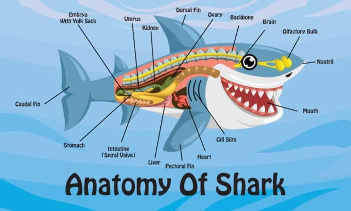 Shark anatomy cartoon illustration