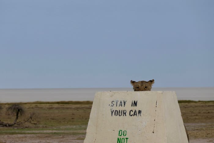 "Funny pic of a lion peeking out its head from behind a ""stay in your car"" sign, Etosha"