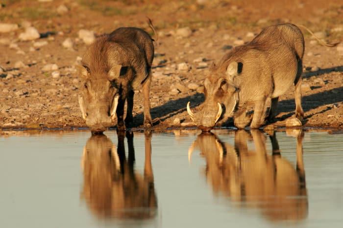Warthogs drinking at a local waterhole in Etosha