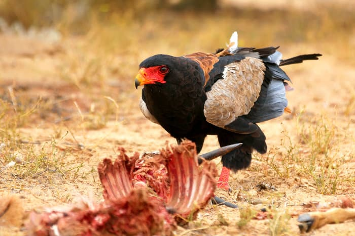 Bateleur feeding on the remains of a springbok