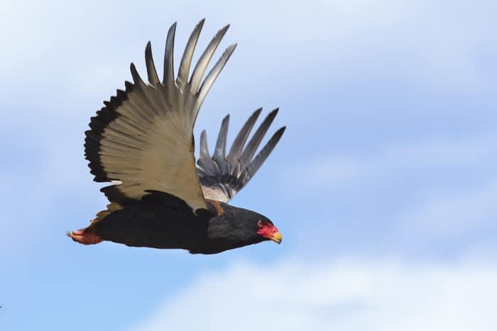 Female bateleur eagle in flight
