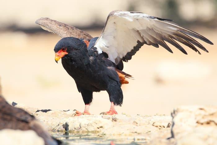 Female bateleur eagle landing at a waterhole