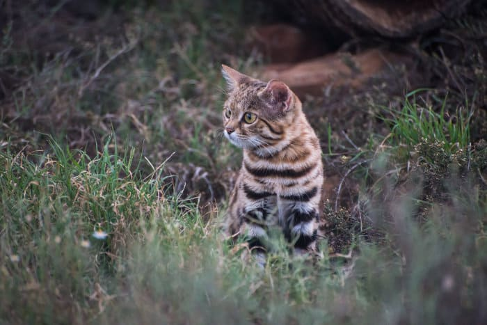 Intrigued black-footed cat