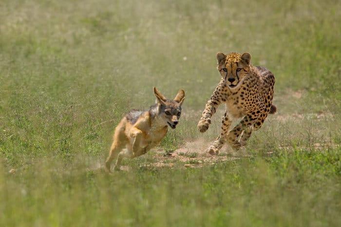 Cheetah chases black-backed jackal