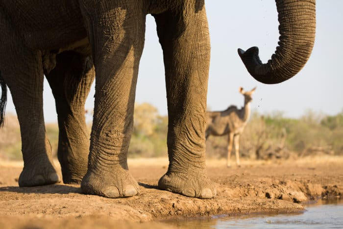 Funny picture of an elephant trunk, with an out-of-focus female kudu in the background