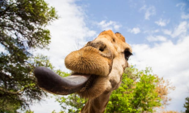 Giraffe tongue facts, colour & length – All you need to know