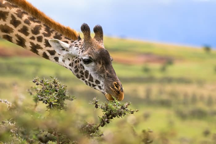 Giraffe feeding on Acacia whistling thorn, Ngorongoro Crater