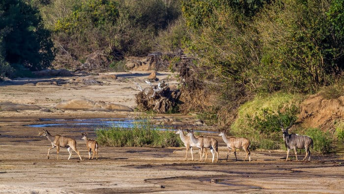 Greater kudu family in their natural environment, Kruger park